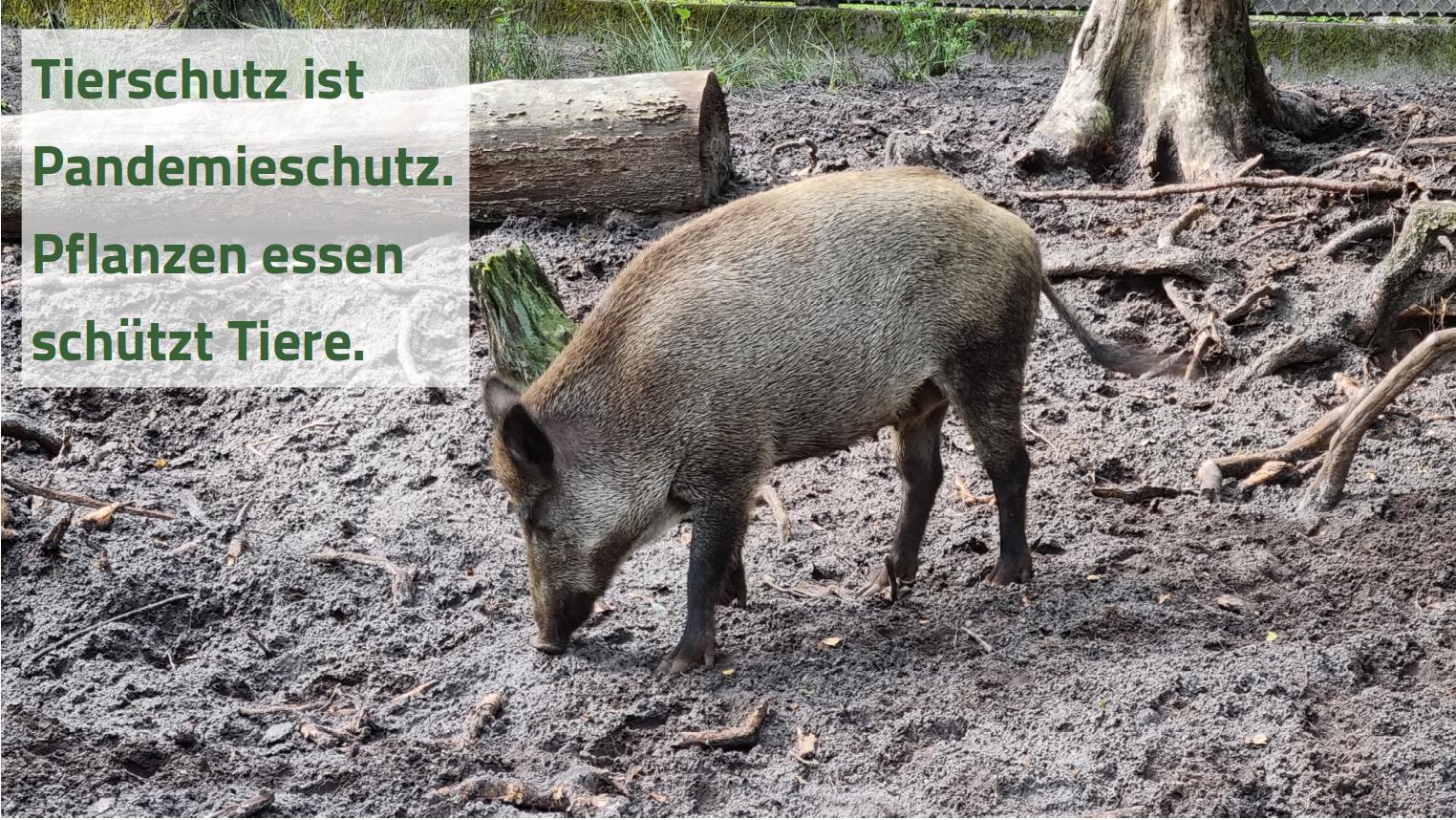 Bild von einem Wildschwein mit Text: Tierschutz ist Pandemieschutz. Pflanzen essen schützt Tiere.