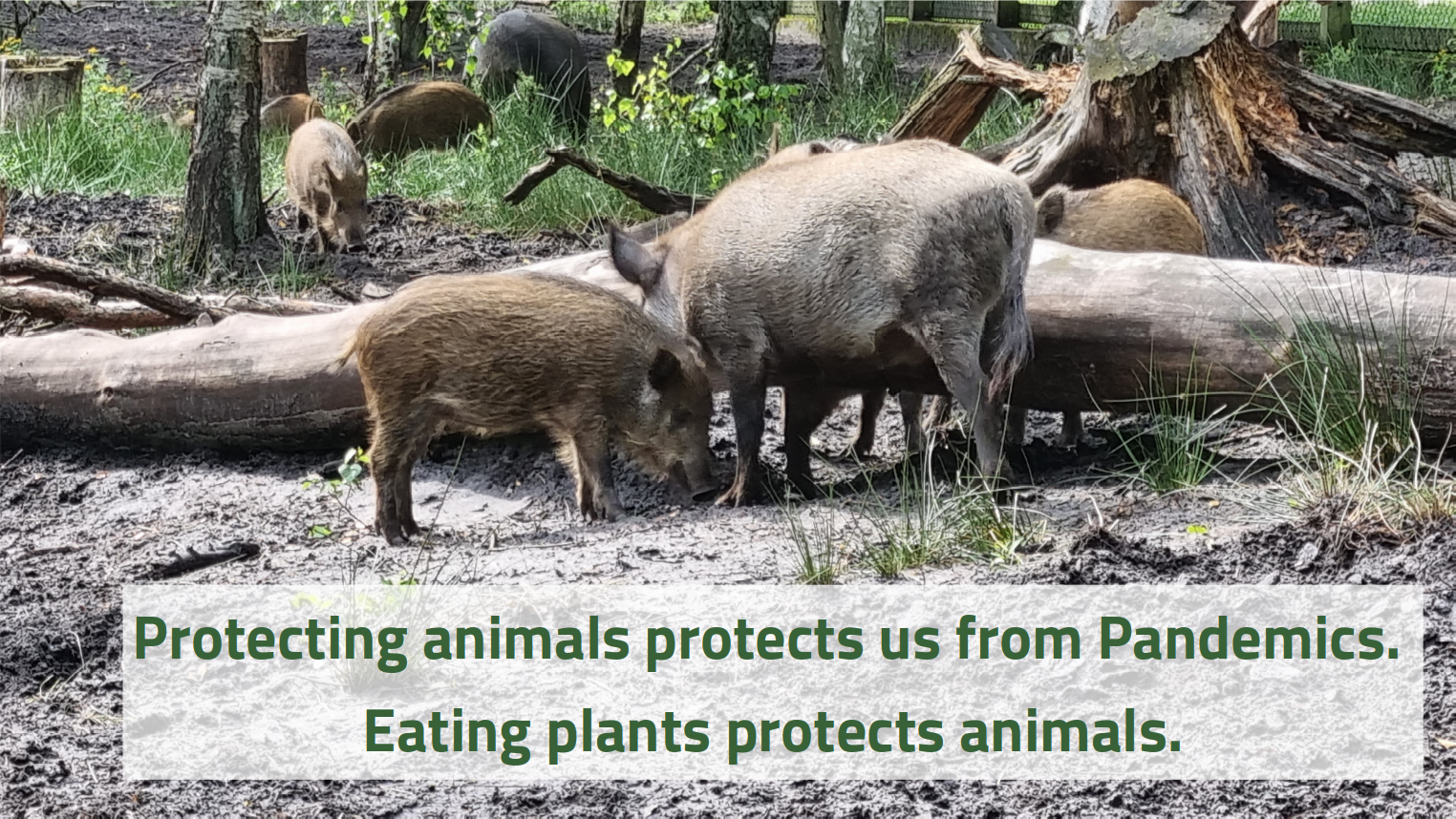 Image of wild boars. Text: Protecting animals protects us from Pandemics. Eating plants protects animals.